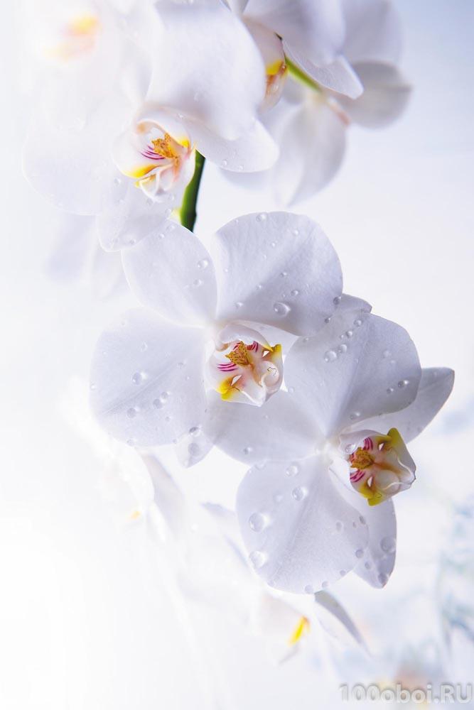 орхидеи фото обои фото