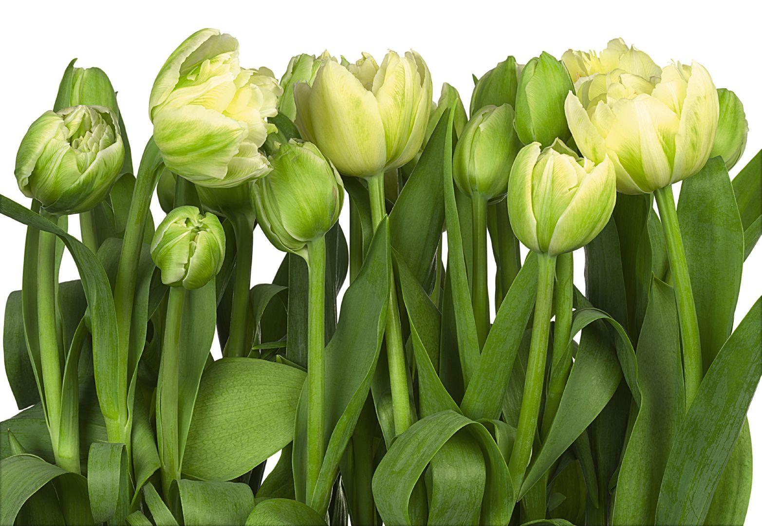 Фотообои фото тюльпаны