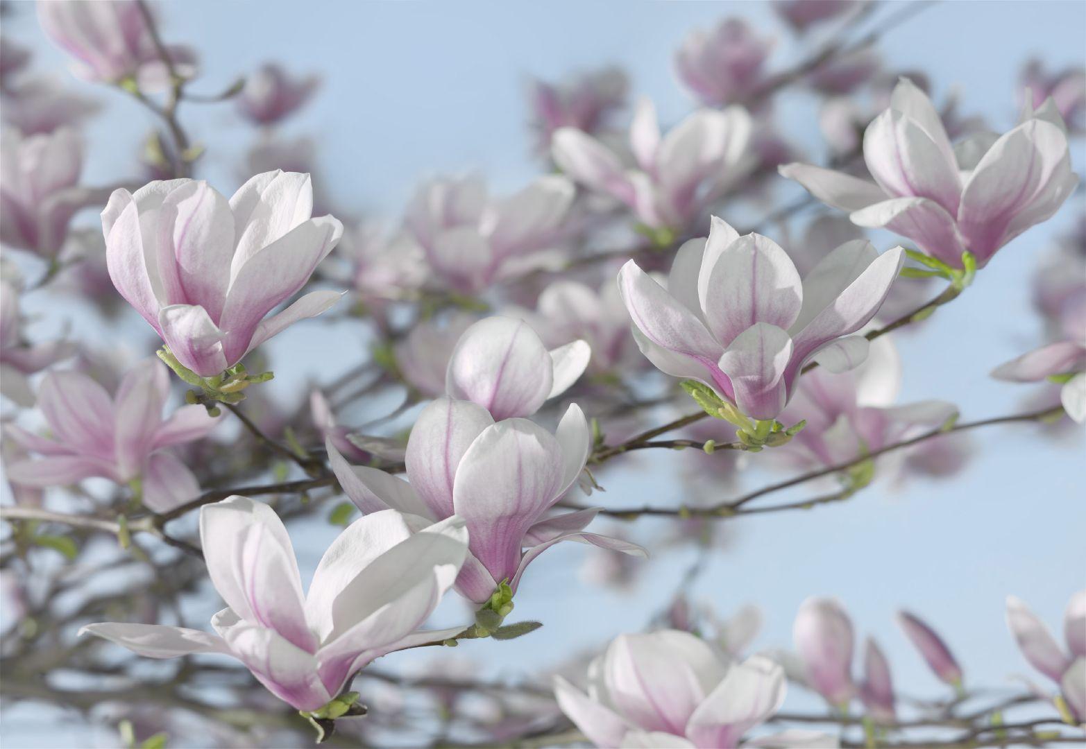Фото магнолии цветов
