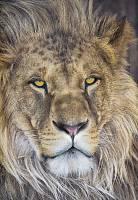 Детские фотообои на стену «Лев» Komar 1-619 Lion
