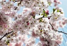 Флизелиновые фотообои на стену «Цветущая сакура» KOMAR 8NW-507 Spring