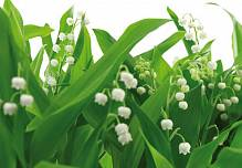 �������� �� ����� ������ �������. Komar 8-517 Lilies of the Valley